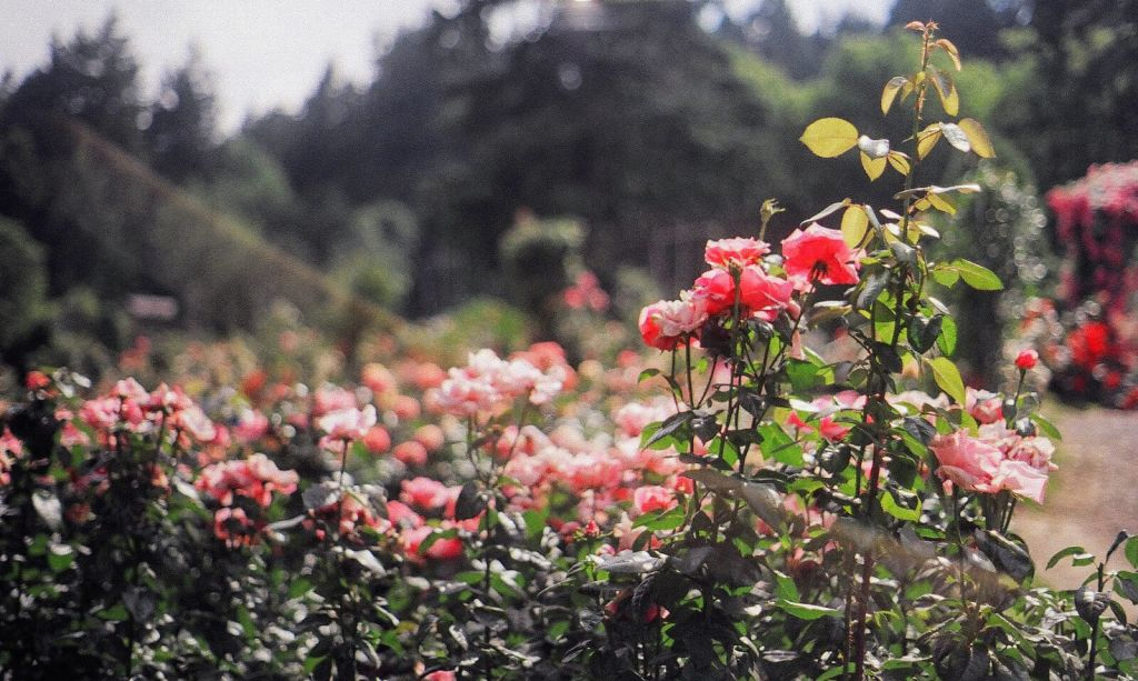 fuzzy-rose-garden.jpg