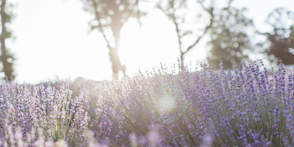 lavender1600.jpg