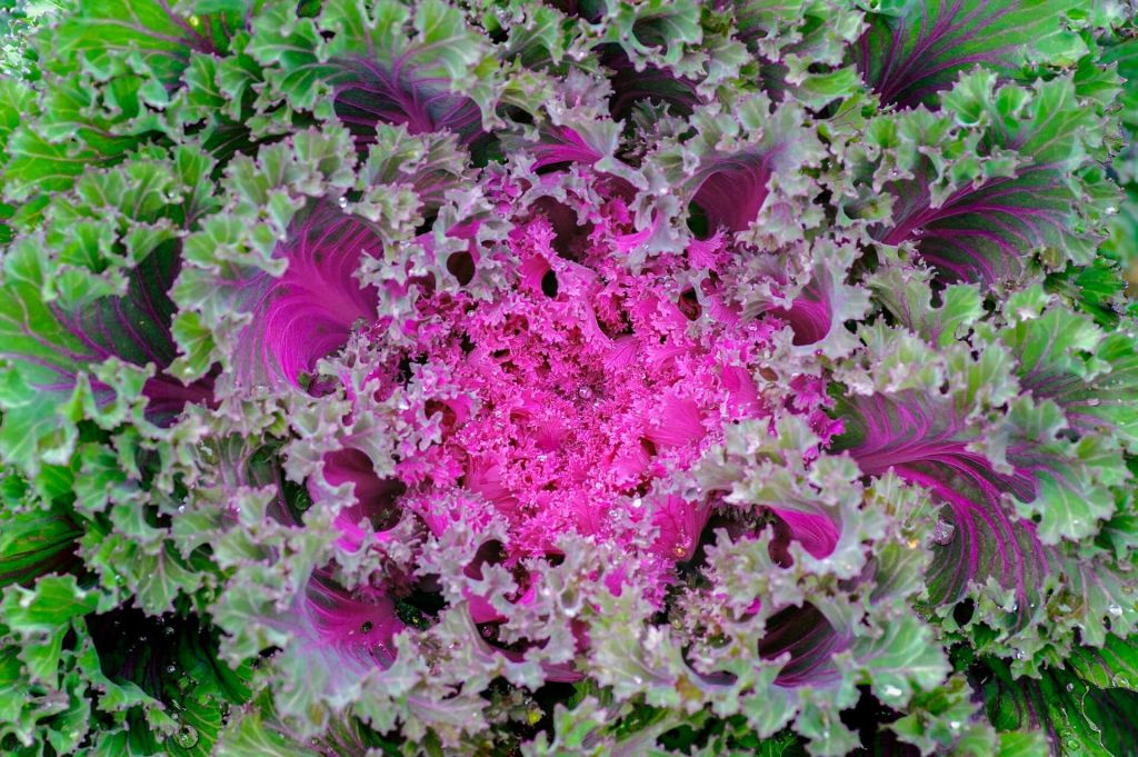 ornamental-cabbage.jpg